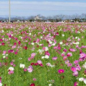 京都のサプライズ野田町コスモス畑