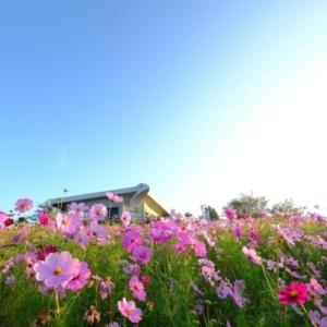京都のサプライズ鷺ヶ峰コスモスパーク