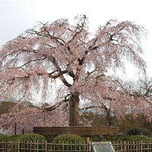 京都のサプライズ円山公園